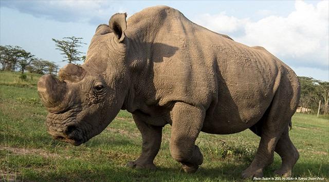 World's Last Male Northern White Rhino Died